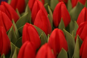 tulips welcome